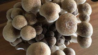 しめじ shimeji mushroom