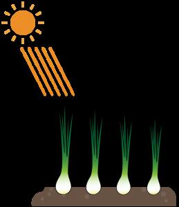 玉ねぎの畝と育ち方の違い